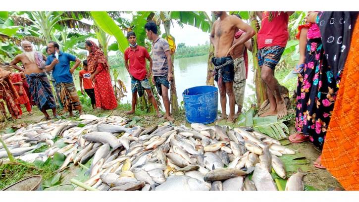 পুঠিয়ায় পুকুরে বিষ প্রয়োগ করে মাছ নিধনের অভিযোগ