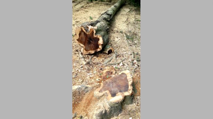 তানোরে বন্যা নিয়ন্ত্রণ বাঁধের গাছ লোপাট