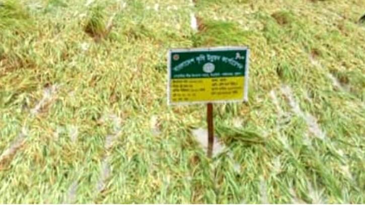 পাইকগাছায় একটানা বৃষ্টি ও ঝড়ো হাওয়ায় বোয়ালিয়া বীজ উৎপাদন খামারসহ আমনের ব্যাপক ক্ষতি