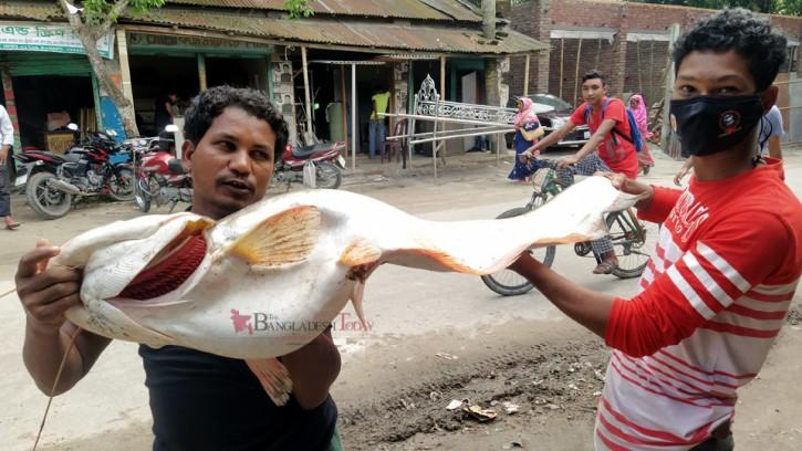 চিলমারীতে জেলের জালে ধরা পড়ল সাড়ে ১৫ কেজির বোয়াল মাছ